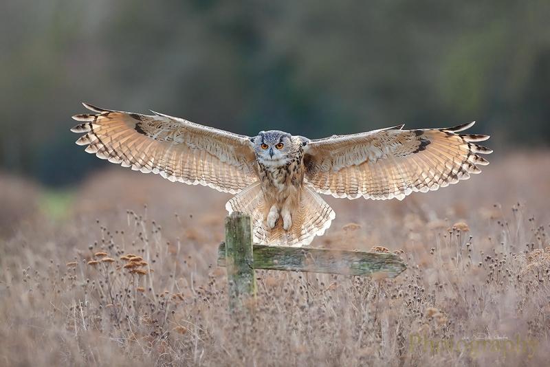 Eagle_Owl_Bubo_bubo.jpg