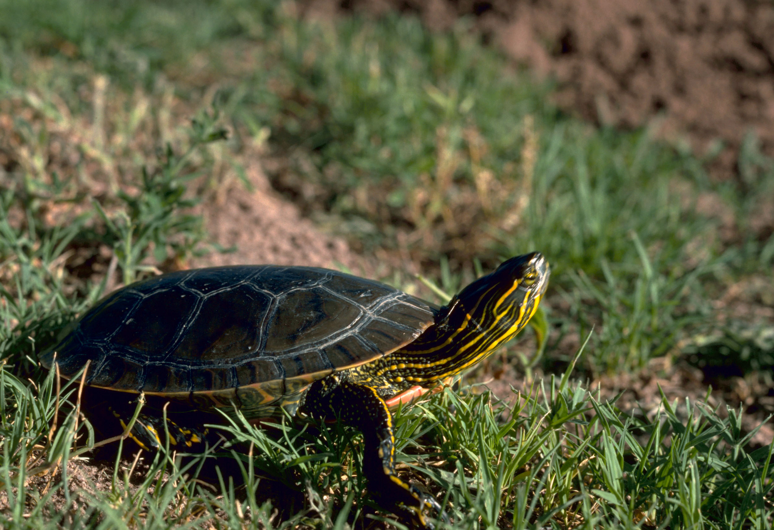 Western_Painted_Turtle.jpeg
