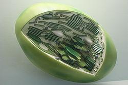 chloroplast.jpg