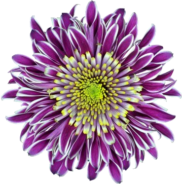 chrysanthemum-flower-purple-with-lime-green-white-center-isolated-on-white-background.png