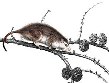 mammalian_ancestor.jpg