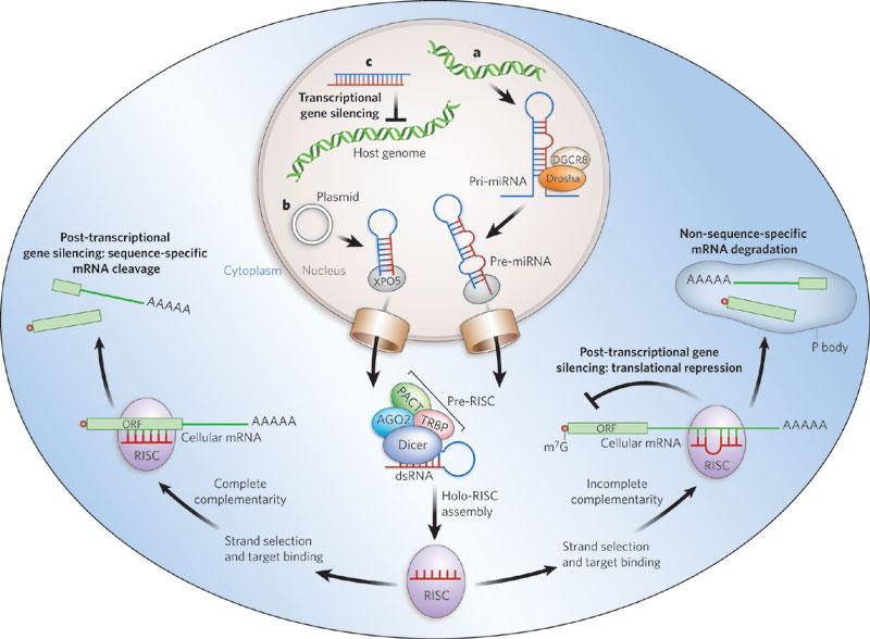 miRNA-biogenesis.jpg