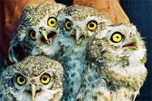 owls-screaming.jpg