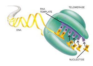 telomerase.jpg
