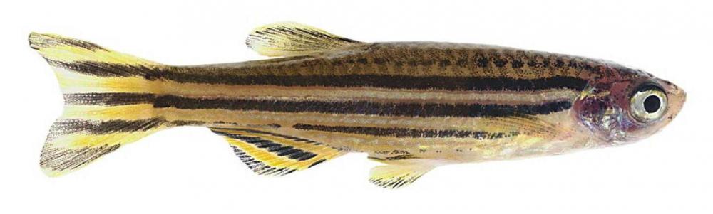 zebrafish.png